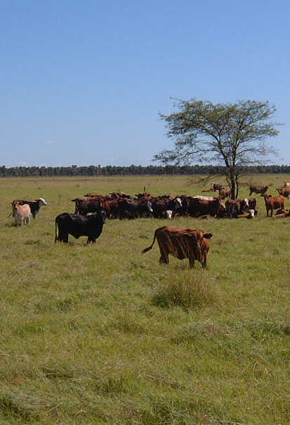 cattle,Chaco